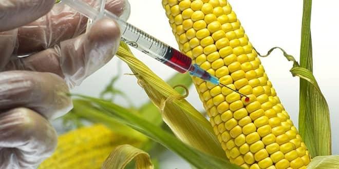 genetiği-değiştirilmiş-gdo