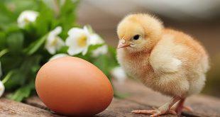 tavuk-civciv-chicken
