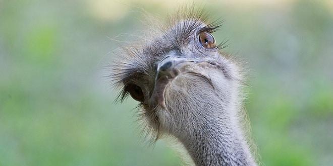 Ostrich devekuşu