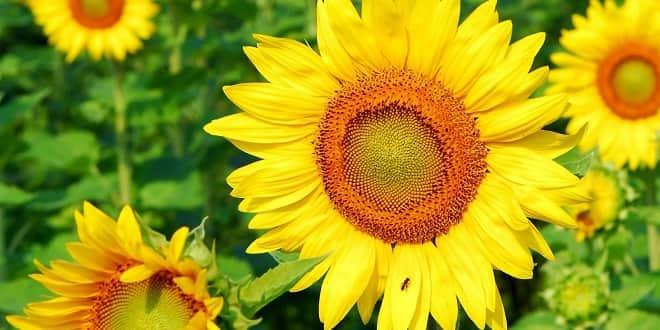 Foodelphi.com ayçiçeği sunflower