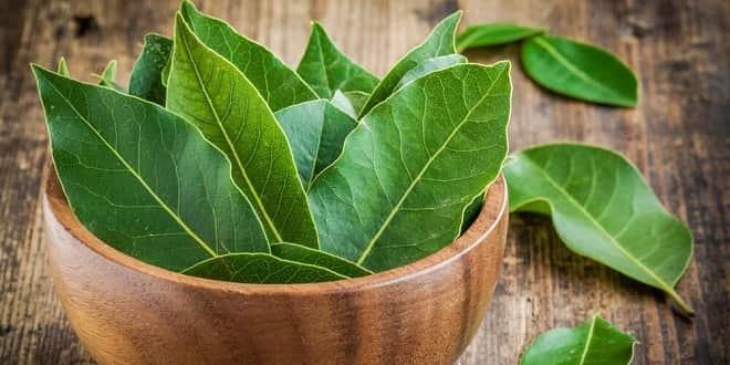 Foodelphi.com defne yaprağı