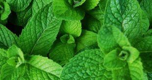 Foodelphi.com nane peppermint mint