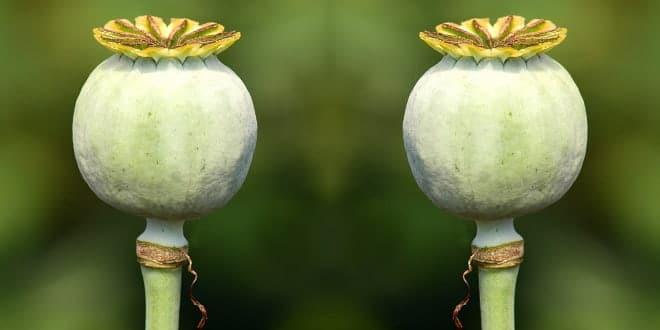 Foodelphi.com poppy haşhaş