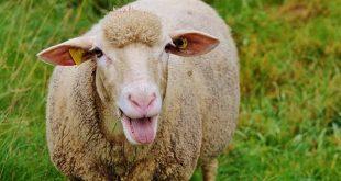 koyun-sheep