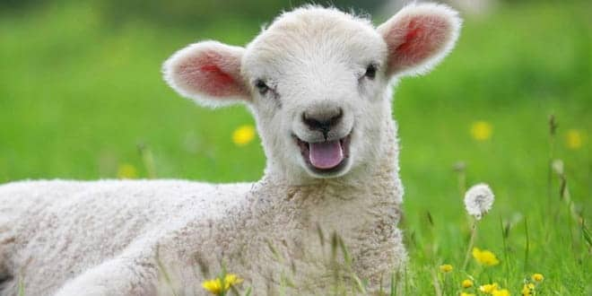 Foodelphi.com kuzu lambs