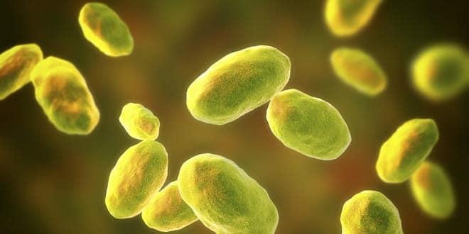 Foodelphi.com yersinia bakteri bacteria patojen